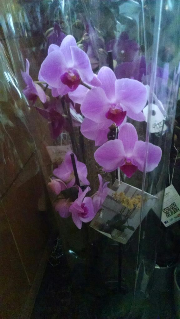 Romantic Orchid